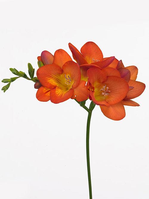 Купить орхидеи в горшке в москве дешево