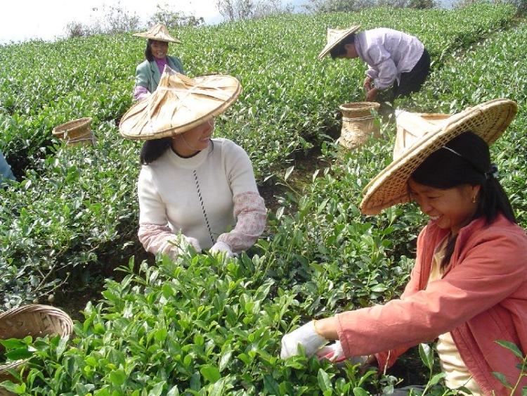 В этом разделе находятся фотографии чайных плантаций, сделанные мной в разных уголках китая